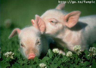 Mignon petit cochon - Image de cochon mignon ...